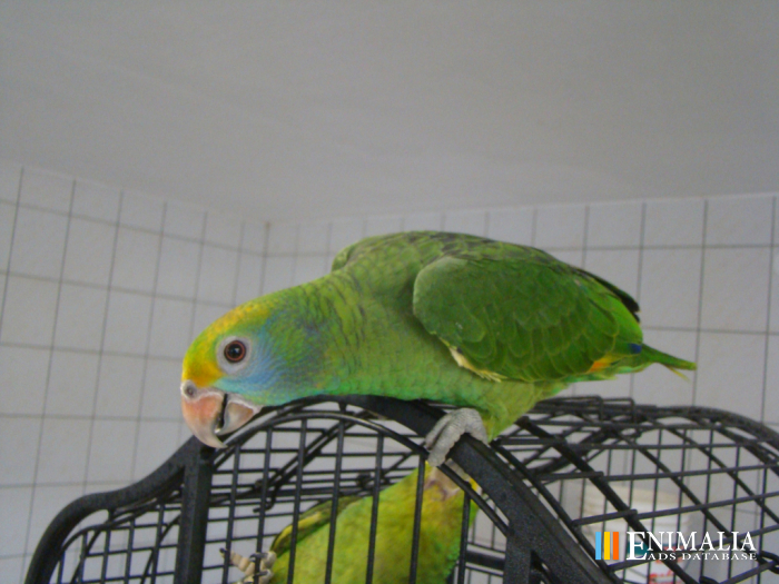 Classifieds Ads | Parrots & Exotic Birds: Sale Wanted
