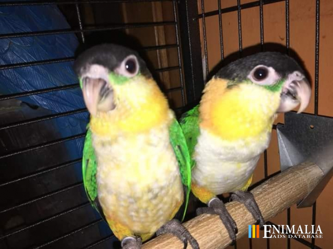 Classifieds | Parrots for sale: African Greys, Cockatoos, Macaws
