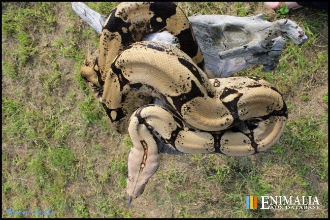 Snakes for sale | Boas, Pythons, Colubrids, Cobras, Vipers