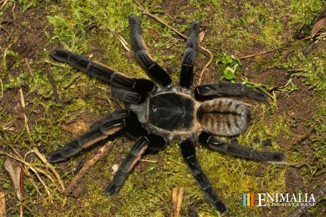 tarantula erfurt