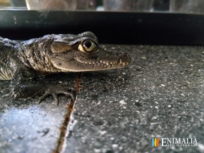 534f3c40ec1 Classifieds | Crocodiles for sale: Alligator, Caiman ..