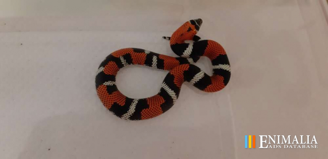 Snakes for sale   Boas, Pythons, Colubrids, Cobras, Vipers, Rattlesnake