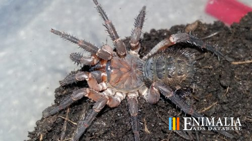 Classifieds | Spiders for sale: Brachypelma, Avicularia