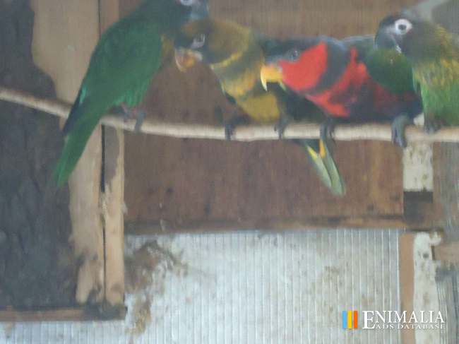Classifieds   Parrots for sale: African Greys, Cockatoos