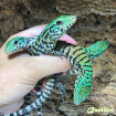 black and white baby tegus